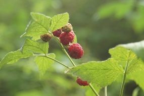 Red raspberry green bush