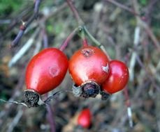 a rosehip berries closeup