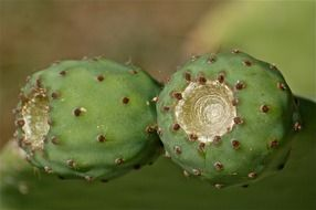 green prickly pear cactus nature