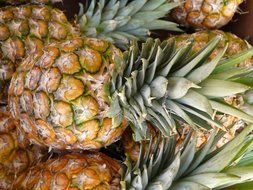 tropical pineapple crop