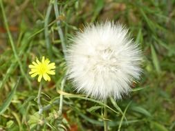 Small dandelion flowers in nature