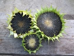 black seeds in sunflowers