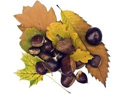 Maroni sweet chestnuts on a background of autumn leaves
