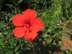 orange hibiscus flowerbed in the garden
