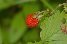 strawberries on a stem close up