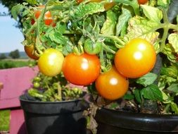 Red tomatoes in a pot