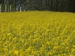 rape blooming in field