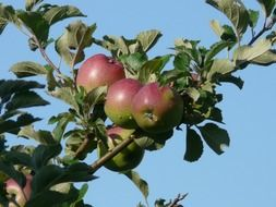 apples on a tree under the bright sun