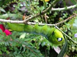 Green caterpillar on a plant