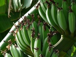 Green bananas on a bush