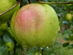 fresh green apple fruit