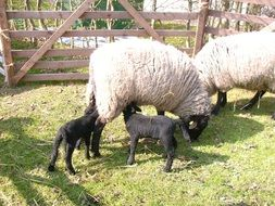 white sheep and black lambs on a farm