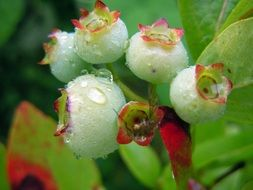 blueberries flower