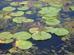 green leaves of water lilies and algae on a pond