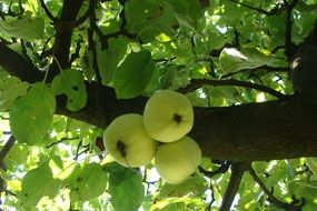 green ripe apples on a branch