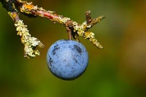 Berry of a blackthorn on a branch close-up