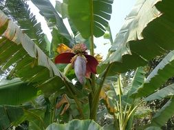 banana tree flower