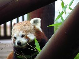 hungry red panda at the zoo