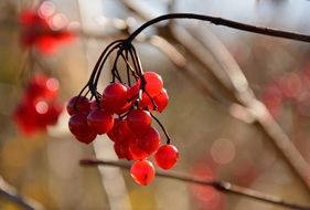 red berries on a bare branch