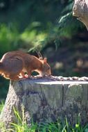 red squirrel on a stump eats nuts