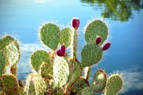 blooming cactus in nature