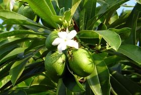 Green mangos and white flower
