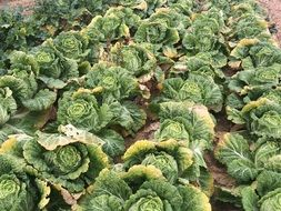 lovely chinese cabbage