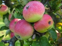 ripe apple fruit tree