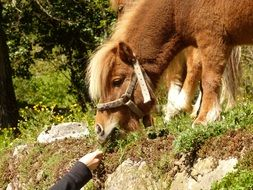 Feeding cute beautiful pony