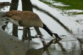 canada goose drinking water