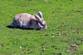 gray rabbit on a green meadow