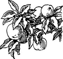 peaches on branch, black and white drawing
