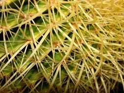 long cactus spikes, macro