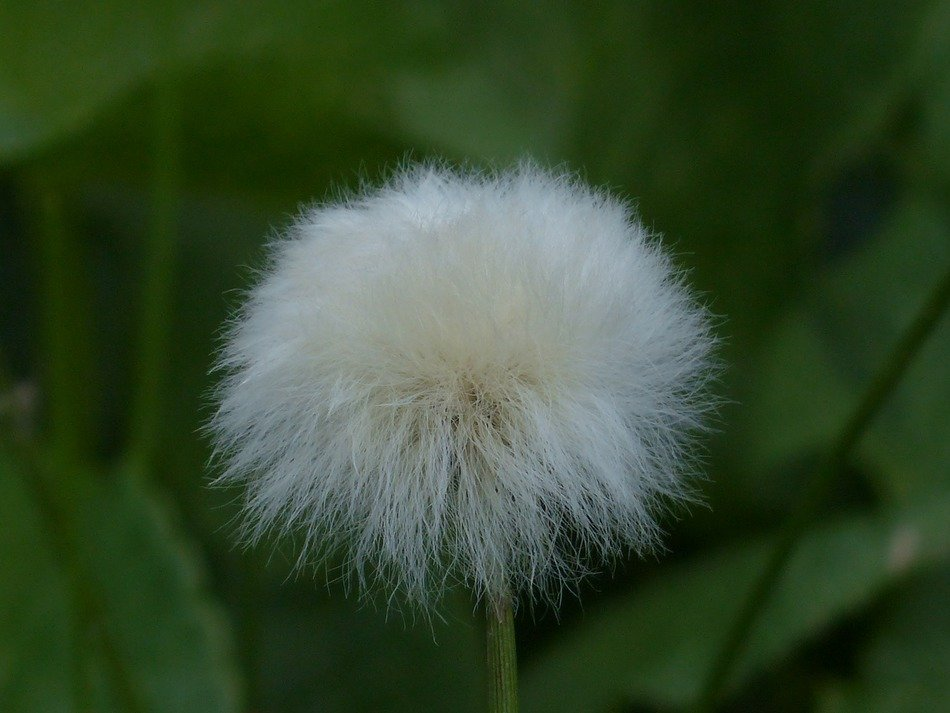 alpine cottongrass