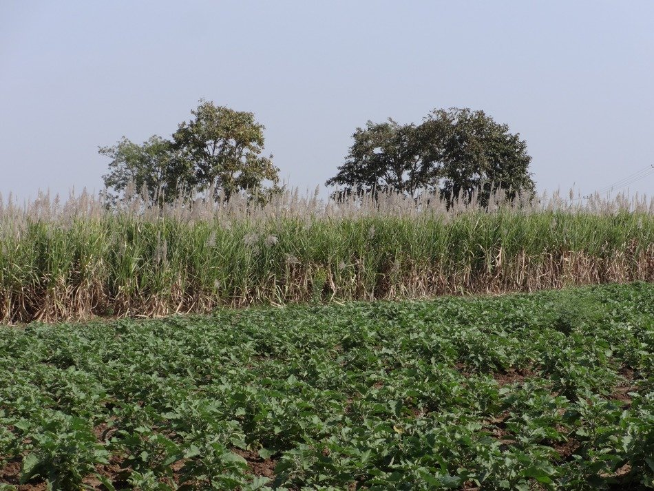sugarcane field behind brinjal plantation