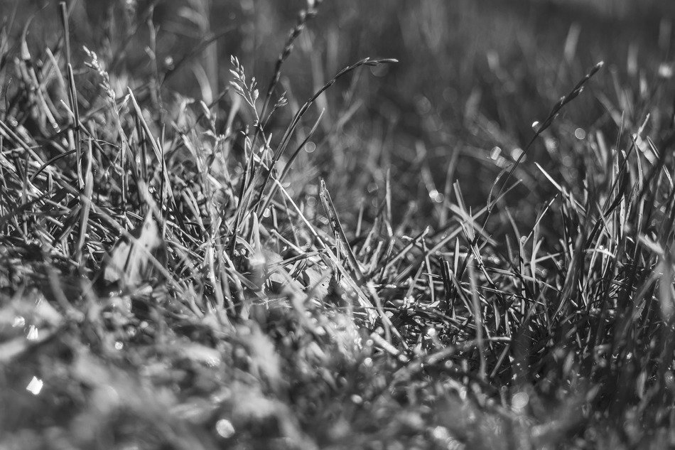 black and white photo of grass in pasture