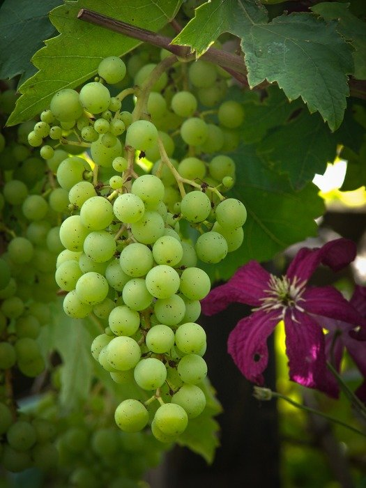green table grapes close-up on the vine