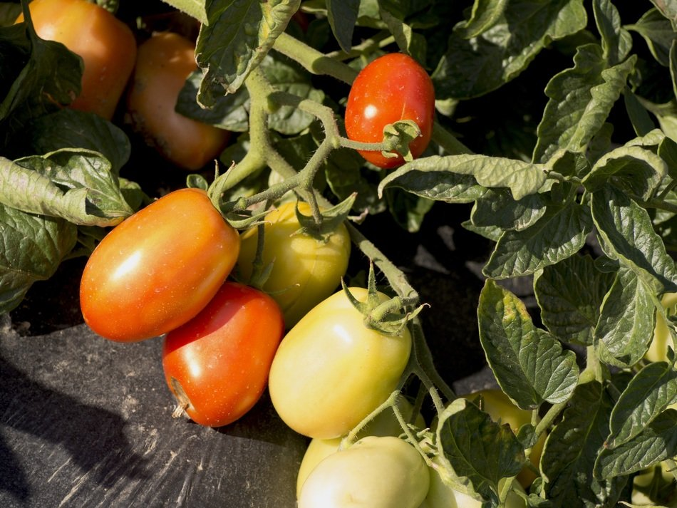 red green tomato vegetables garden
