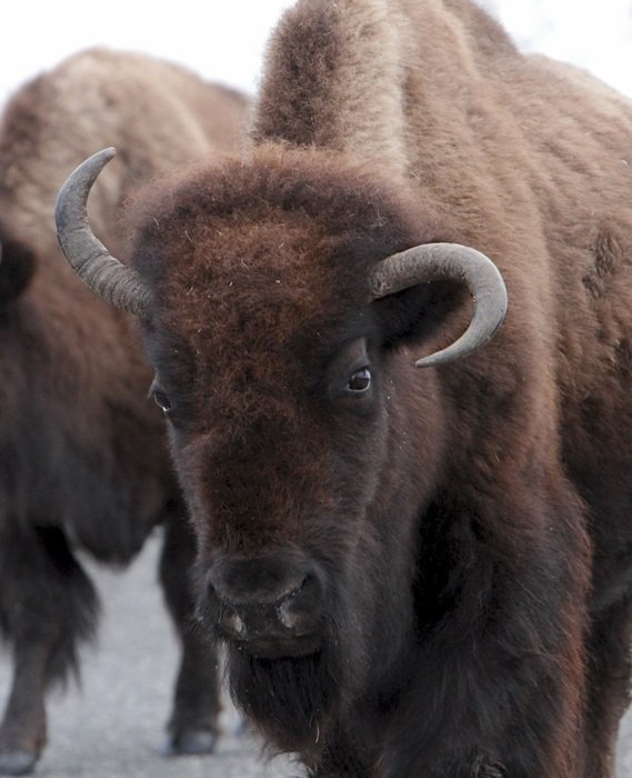 american bison close up
