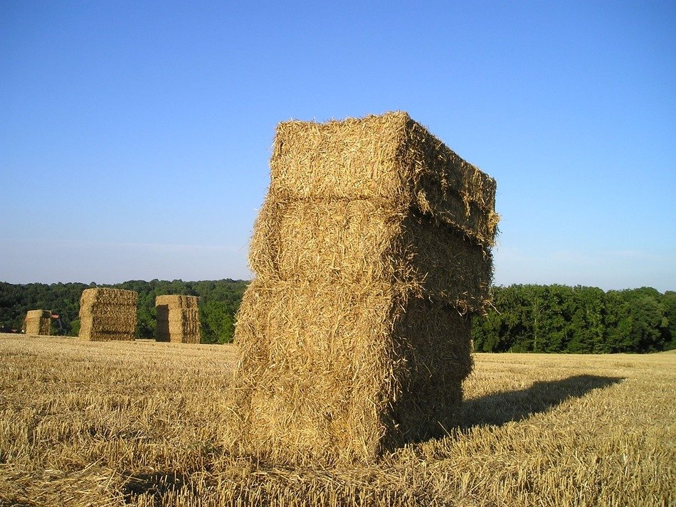 square straw bales on corn field