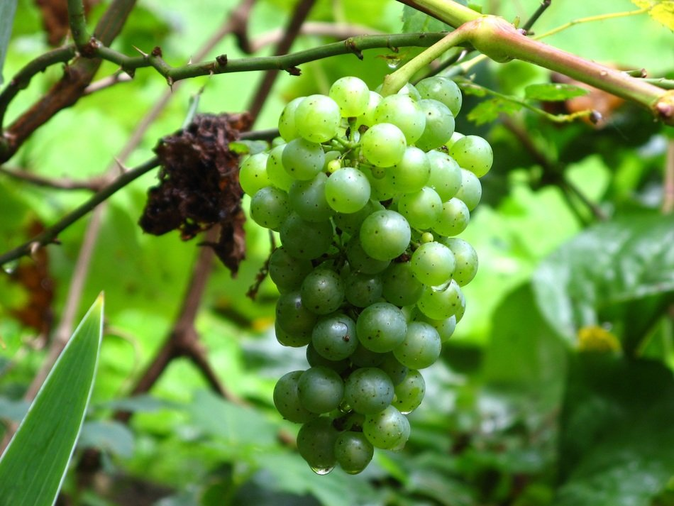 green grapes on the vine closeup