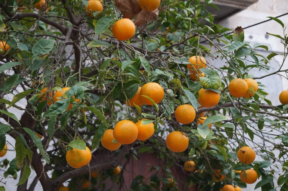 growing oranges on a tree on the coast of Mallorca