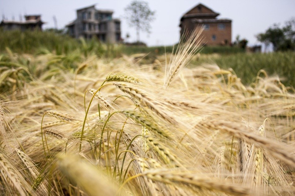 wheat field in in village