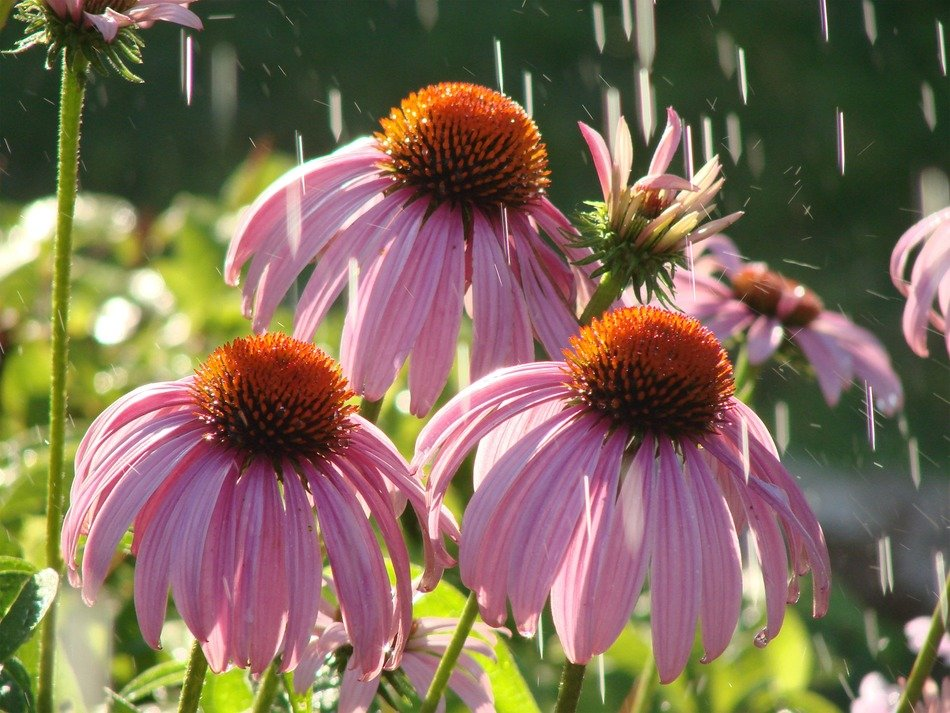 pink echinacea with lowered petals