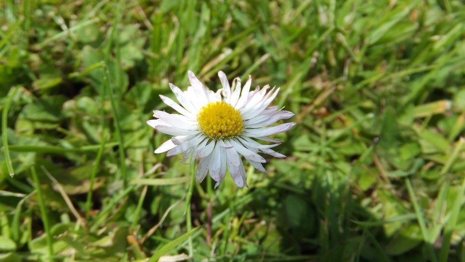 daisy on green grass