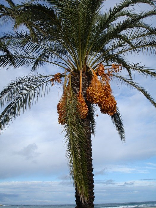 date palm against the sky