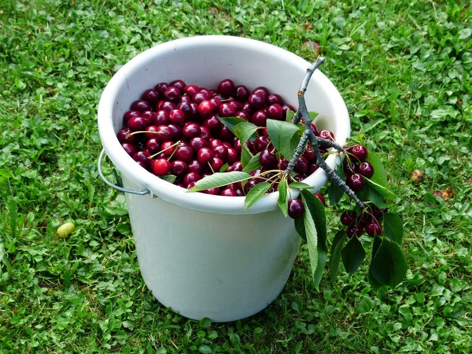 sweet cherry in the bucket