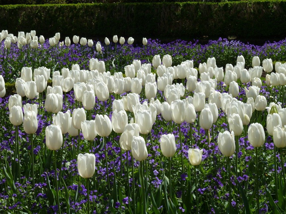 field of white tulips floral plants natural