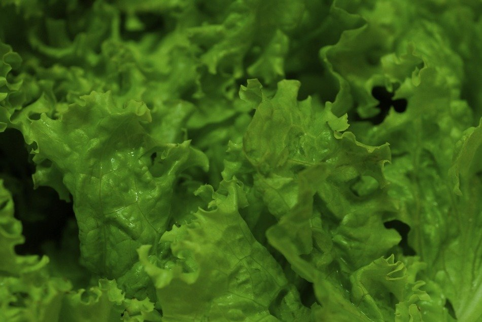fresh lettuce vegetable