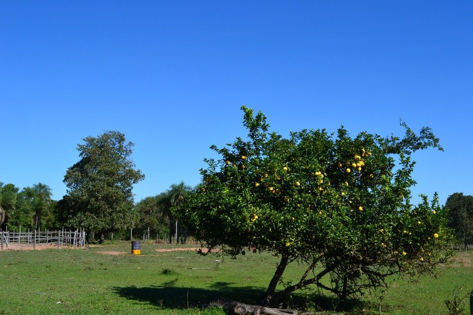 lemon tree in the meadow